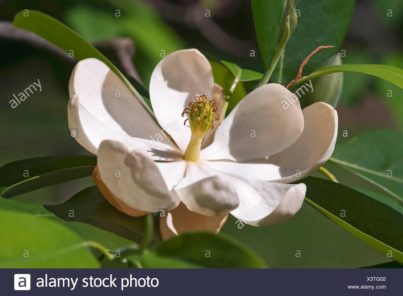Sweetbay Magnolia Tree Stock Photos Sweetbay Magnolia Tree Stock