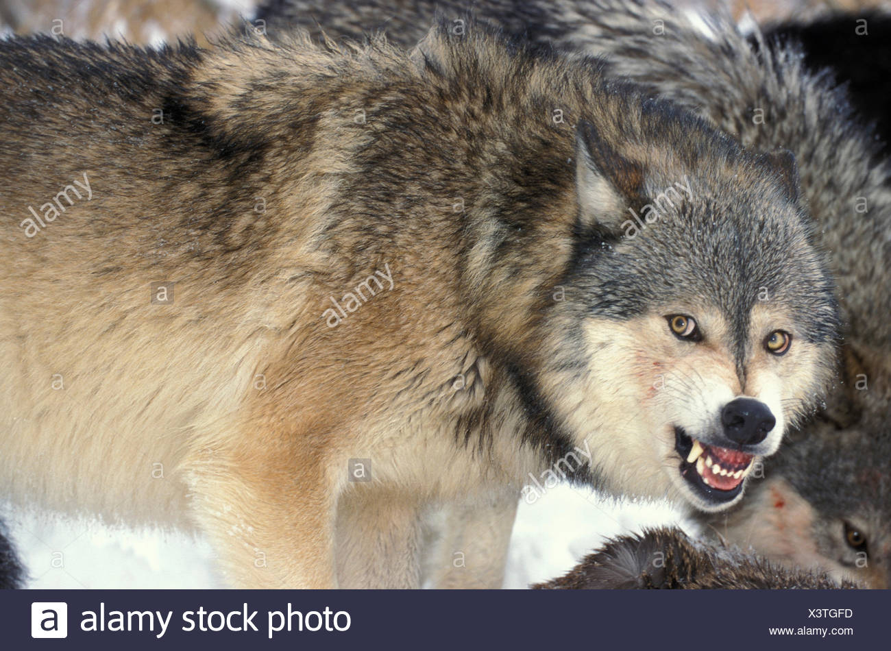 Timber or Grey Wolf, Canis Lupus, Minnesota USA, controlled situation, in snow, winter, wolf pack on deer kill, snarling - Stock Image