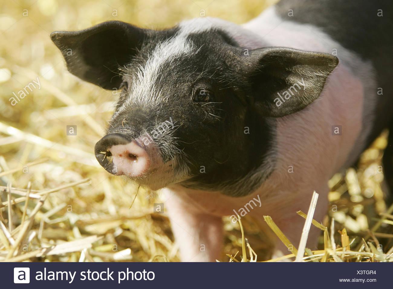 Hallisches Schwein / Ferkel Stock Photo