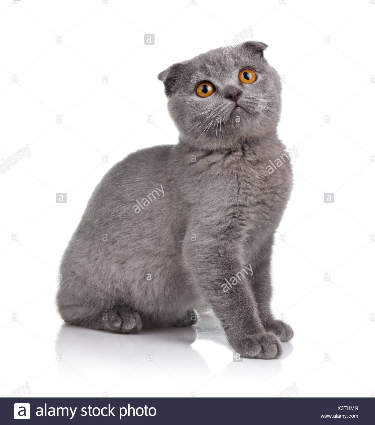 Little lop-eared kitten isolated on white - Stock Image