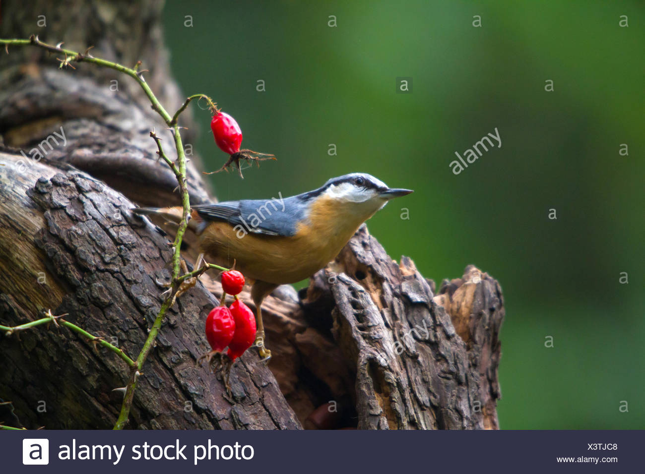 Eurasian nuthatch (Sitta europaea), searching food at an old tree, Switzerland, Sankt Gallen, Rheineck - Stock Image