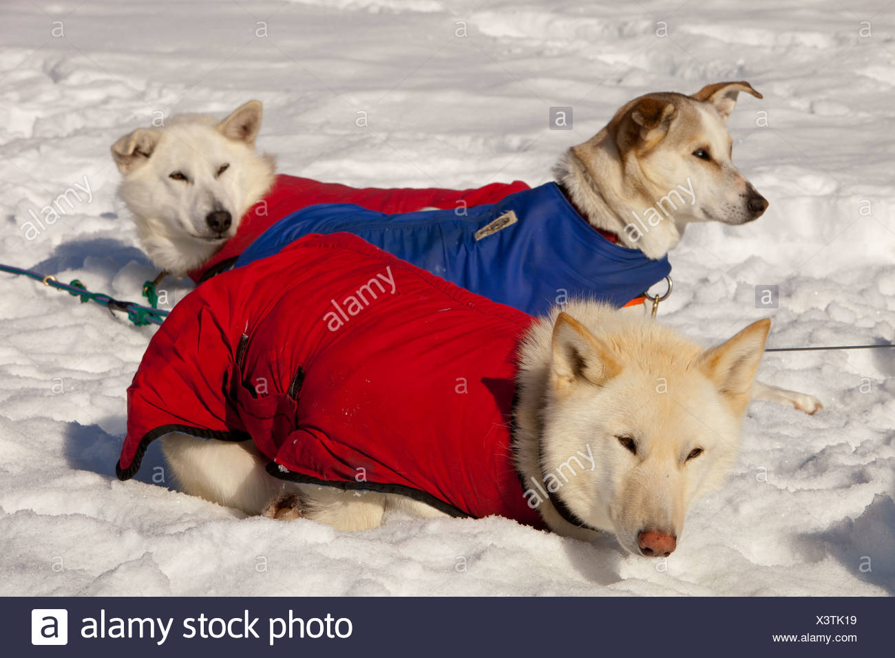 White sled dogs with dog coats resting in snow and sun, stake out cable, Alaskan Huskies, Yukon Territory, Canada - Stock Image