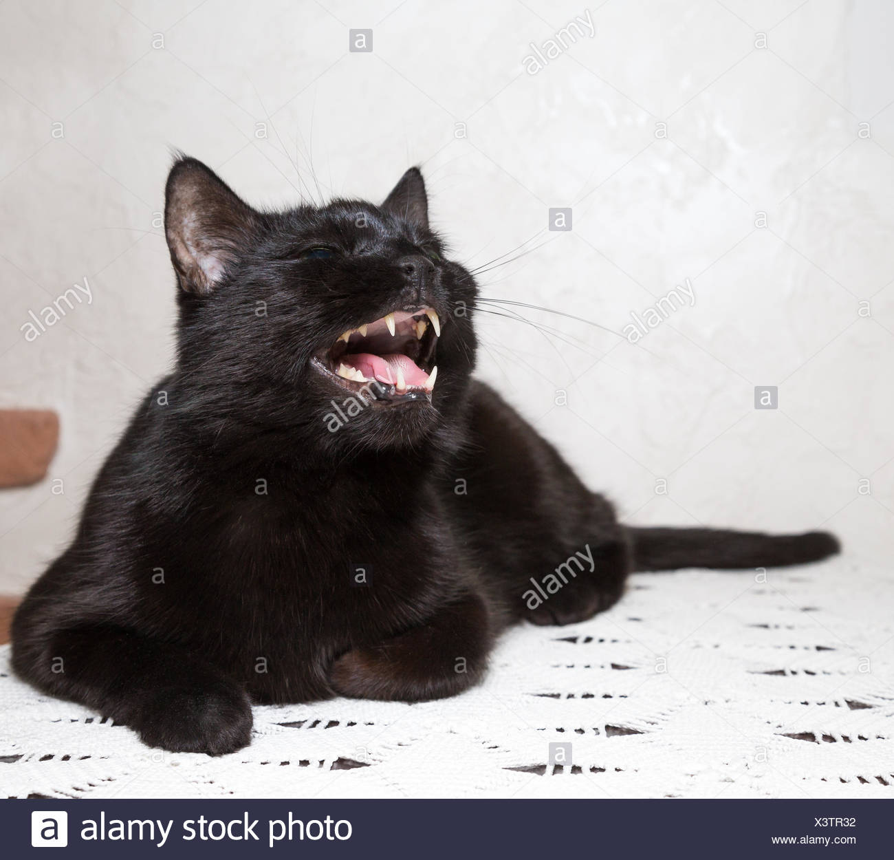 black cat growls - Stock Image