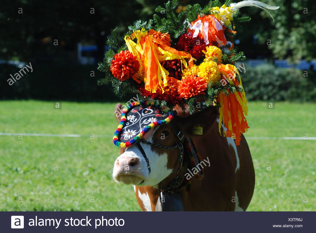 Almabtrieb, cow, headdress, meadow, medium close-up, detail, tradition, traditions, autumn, Alps region, rurally, animals, cattle, cow, blotch cattle, pasture, decorated, flowers, floral decoration, cattles, tree bark, Viehscheid, agriculture, cattle economy, holiday, - Stock Image