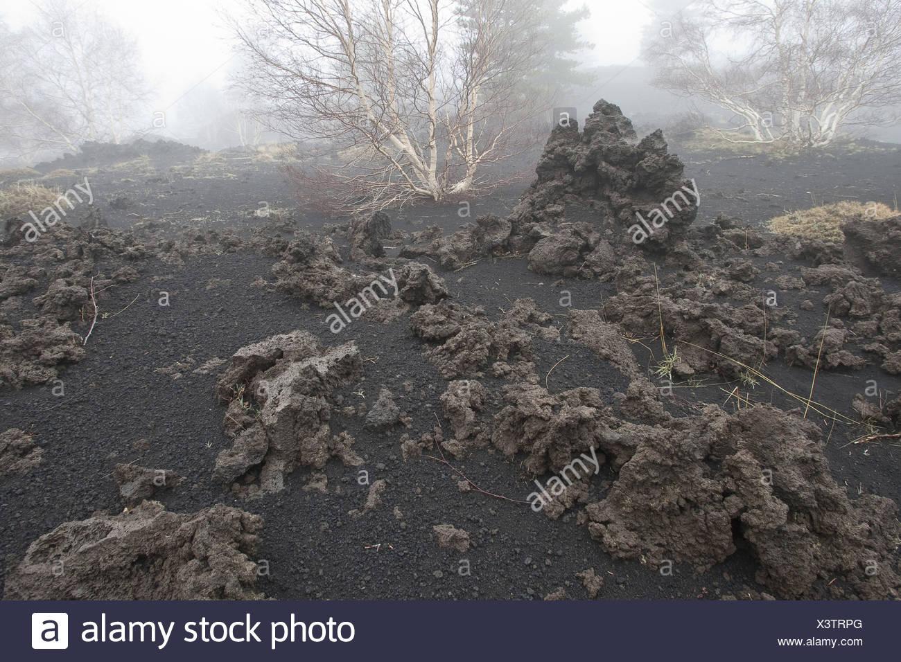 Etna birch, White Birch (Betula aetnensis, Betula pendula ssp. aetnensis), lava at Mount Etna, Italy, Sicilia - Stock Image