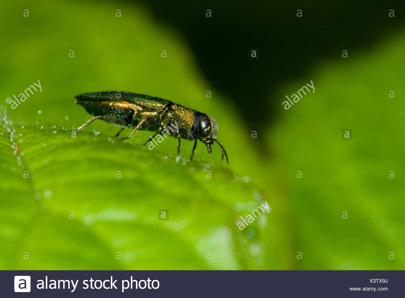 Jewel beetle, Metallic wood-boring beetle (Anthaxia nitidula), male, Germany - Stock Image
