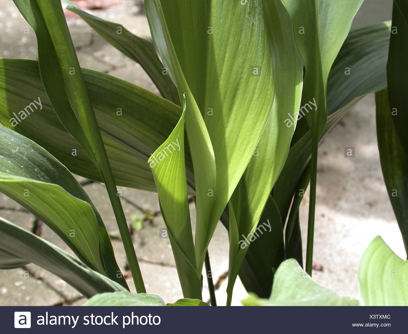 cast iron plant (Aspidistra elatior), potted plant Stock Photo