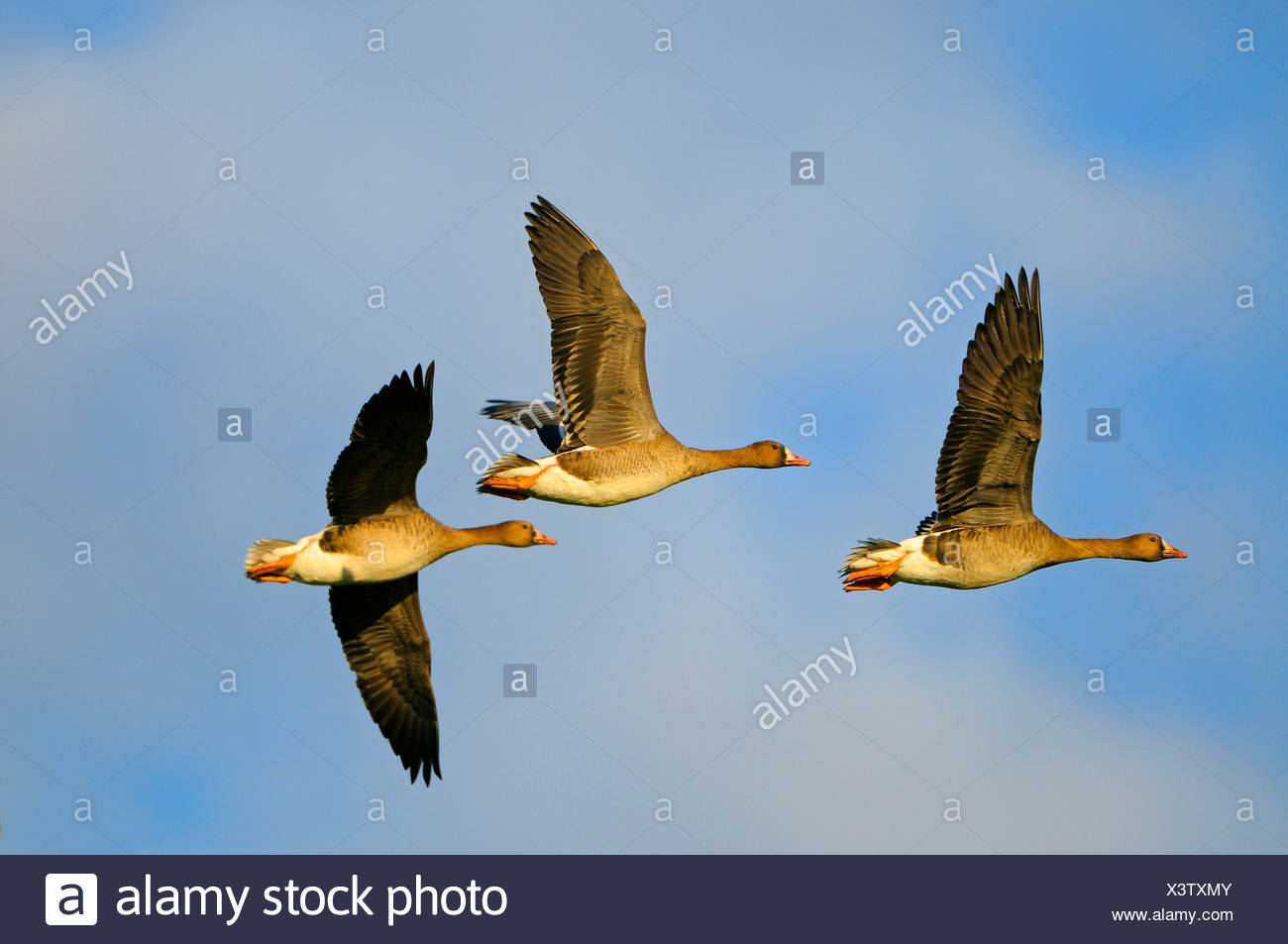 white-fronted goose (Anser albifrons), three individuals flying, Germany, North Rhine-Westphalia, Rees, Niederrhein - Stock Image