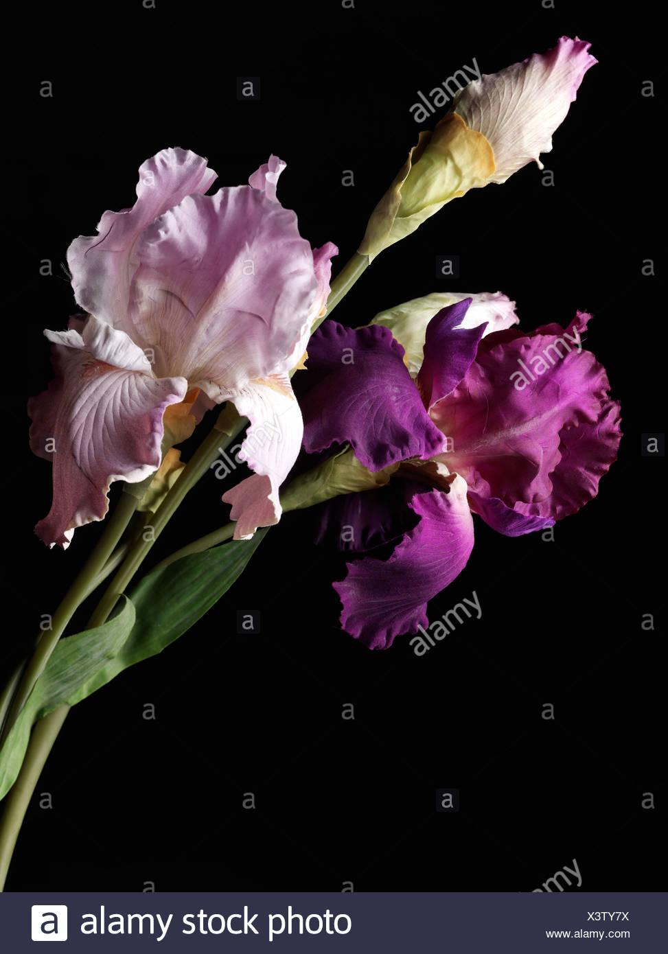 Iris - Stock Image