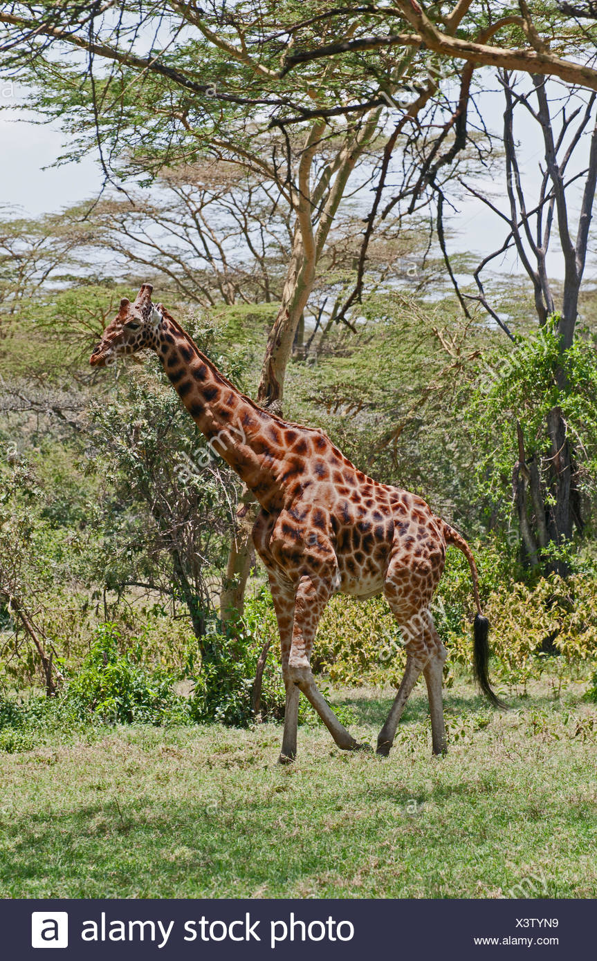 Rothschild's Giraffe walking through acacia woodland in Lake Nakuru National Park Kenya East Africa - Stock Image