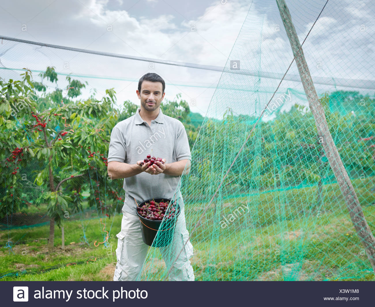 Man with bucket of cherries in orchard - Stock Image