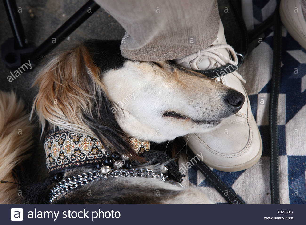 Saluki (Canis lupus f. familiaris), sleeping with the head on a shoe, Germany - Stock Image