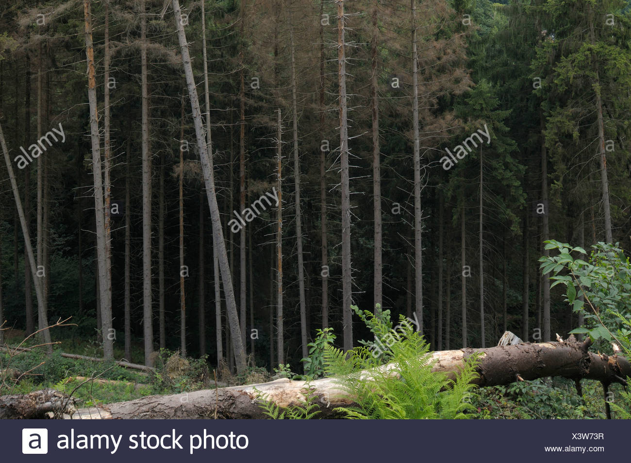Monoculture forest, cutting, windthrow, coniferous forest - Stock Image