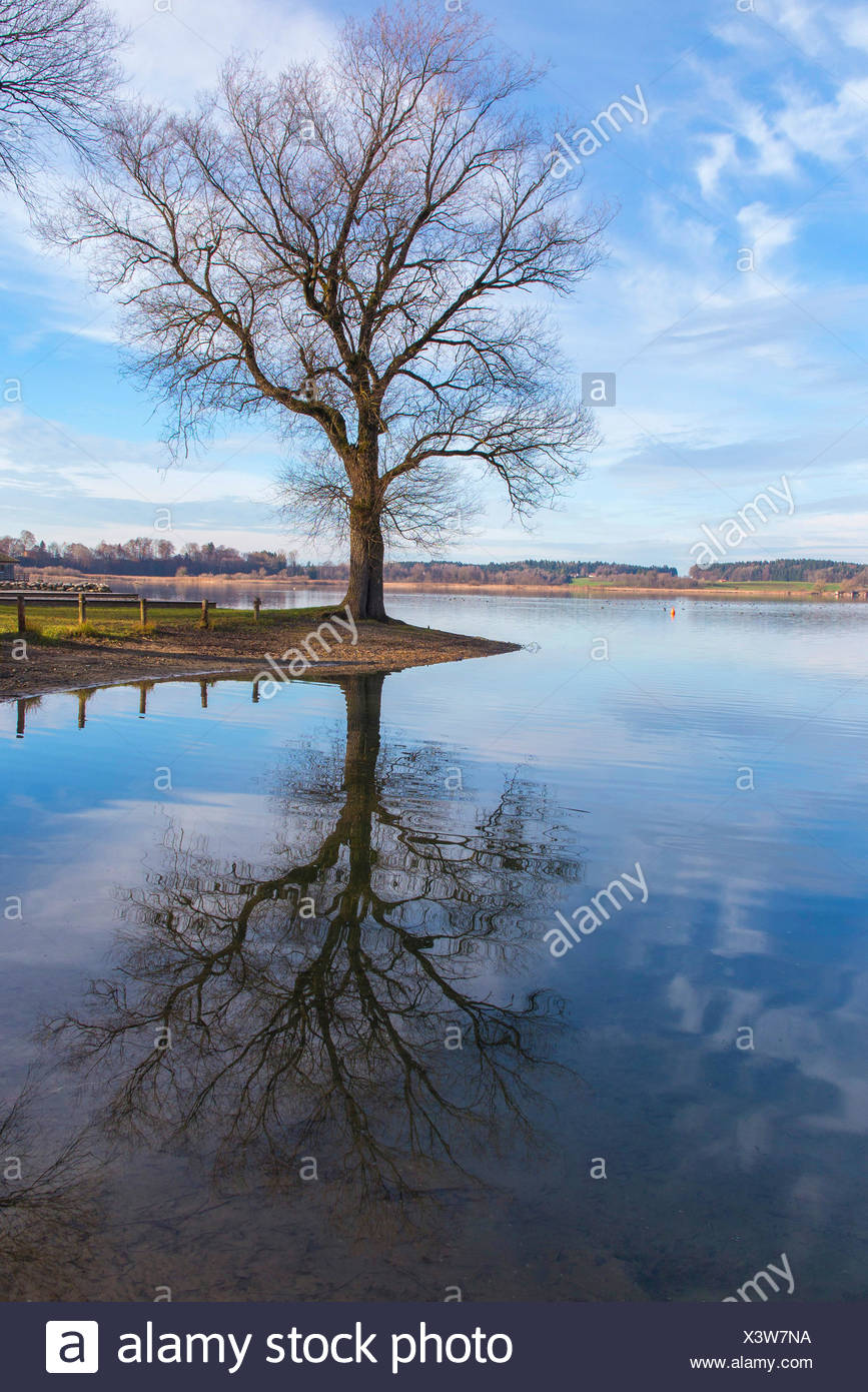 White willow (Salix alba), with mirroring in autumn at the shore, Germany, Bavaria, Lake Chiemsee - Stock Image