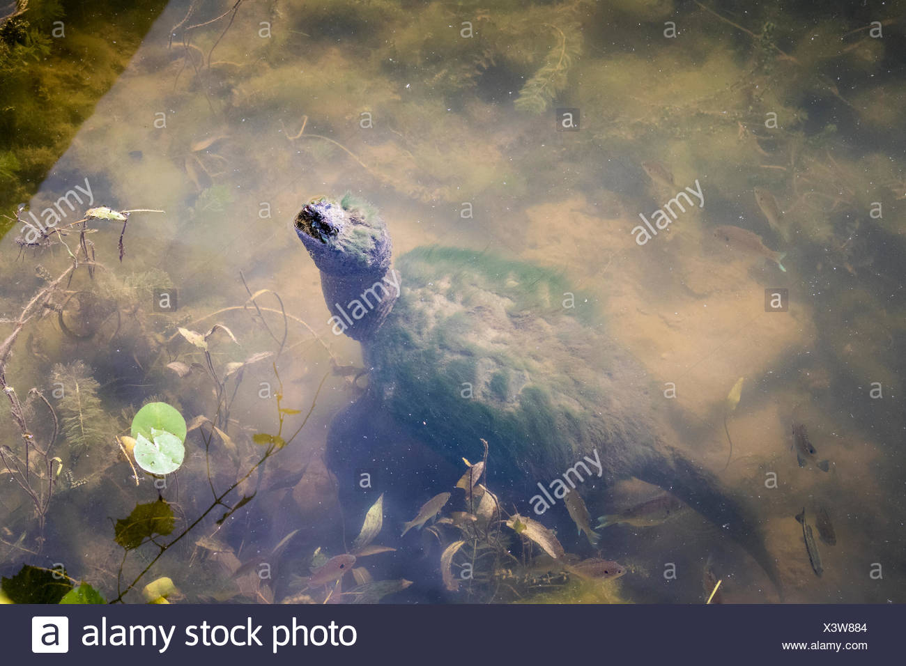 Snapping Turtle (Chelydra serpentina) with nose protruding from water in the Pinery Provincial Park, Ontario, Canada - Stock Image
