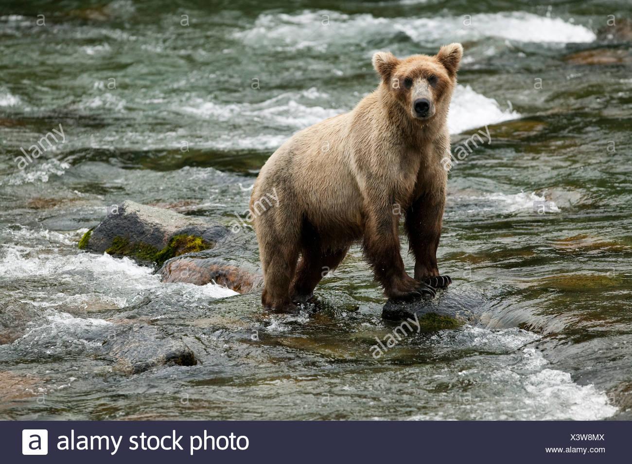 Brown bear, Brooks Falls, Katmai National Park, Alaska - Stock Image