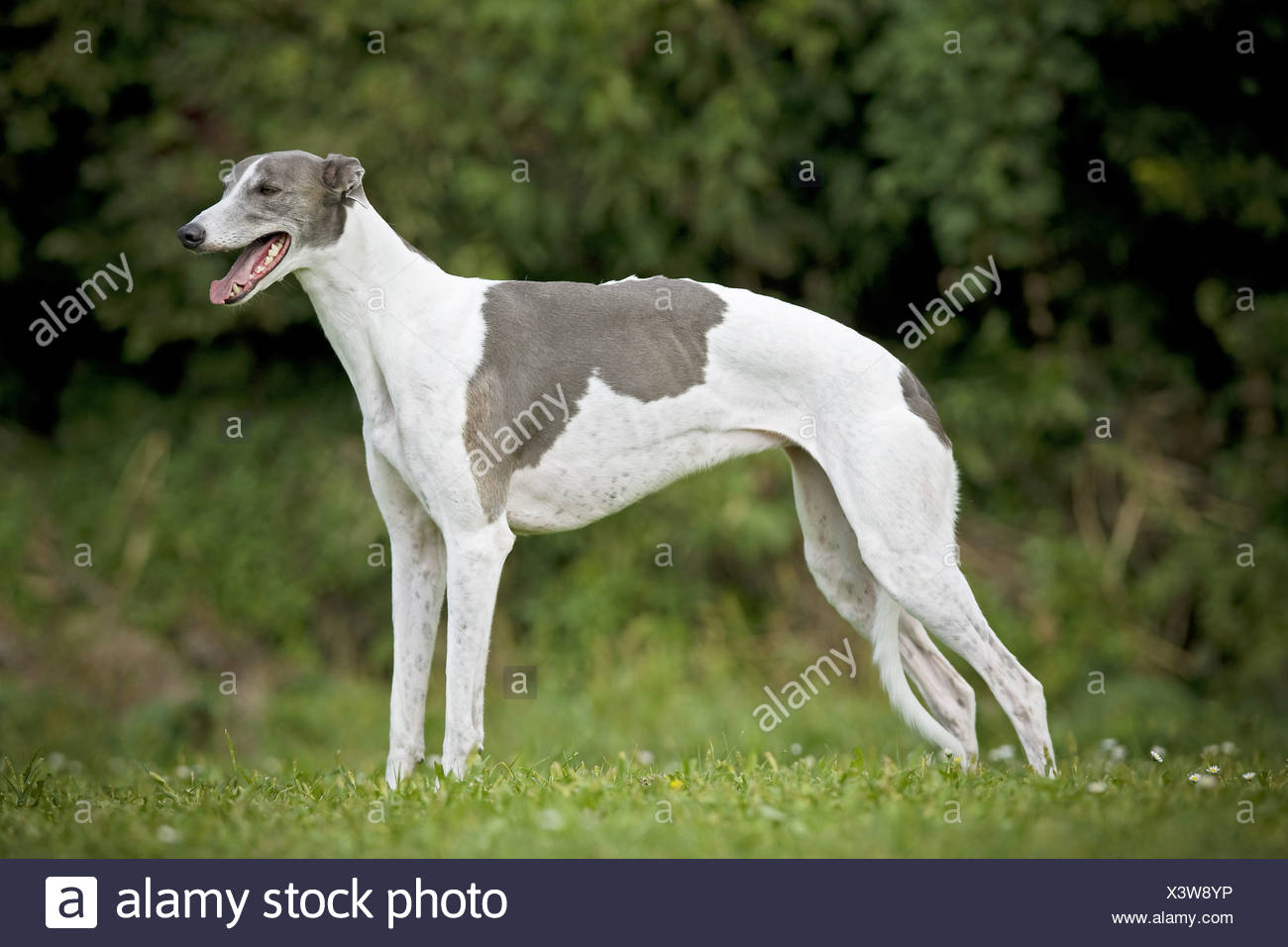 Greyhound dog - standing on meadow Stock Photo
