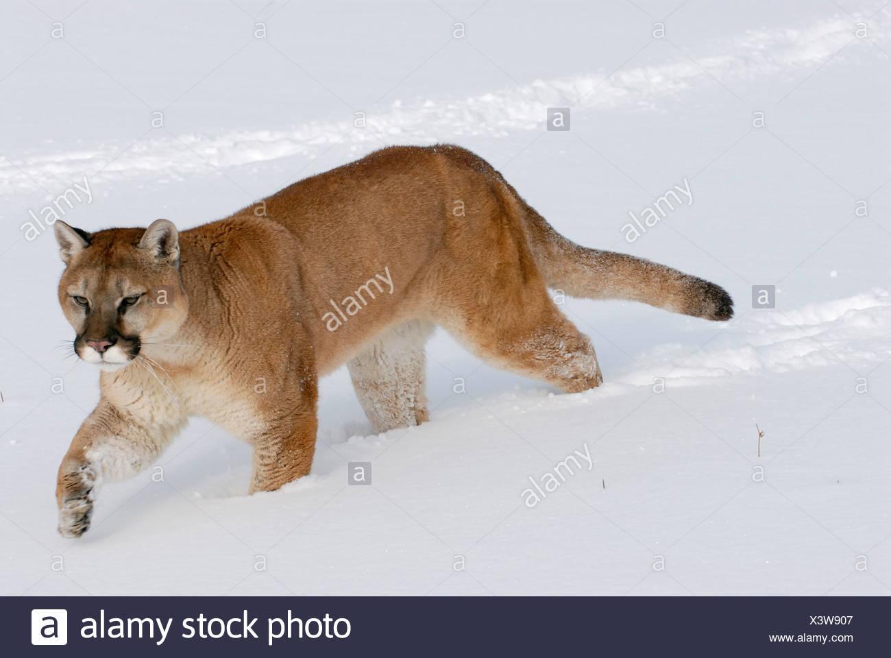 83ca574559274 Mountain Lion Puma Concolor Walking Stock Photos   Mountain Lion ...