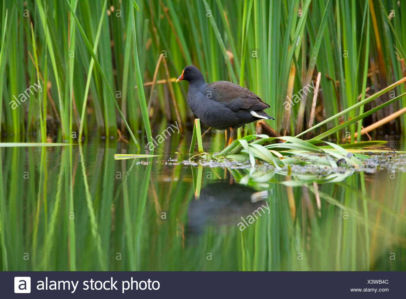 dusky moorhen (Gallinula tenebrosa), adult sits on shore vegetation looking out. The body of the moorhen reflects in the calm water's surface, Australia, Northern Territory, West MacDonnell National Park, Ellery Creek Big Hole - Stock Image