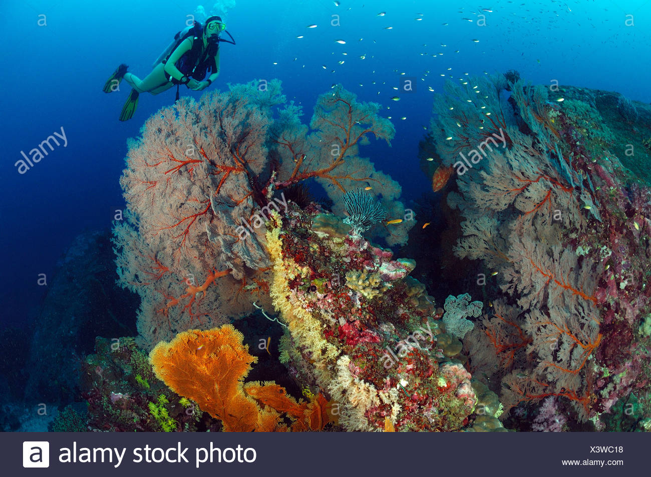 Scuba diver and Giant Sea Fans, Melithaea sp., Similan Islands, Thailand Stock Photo