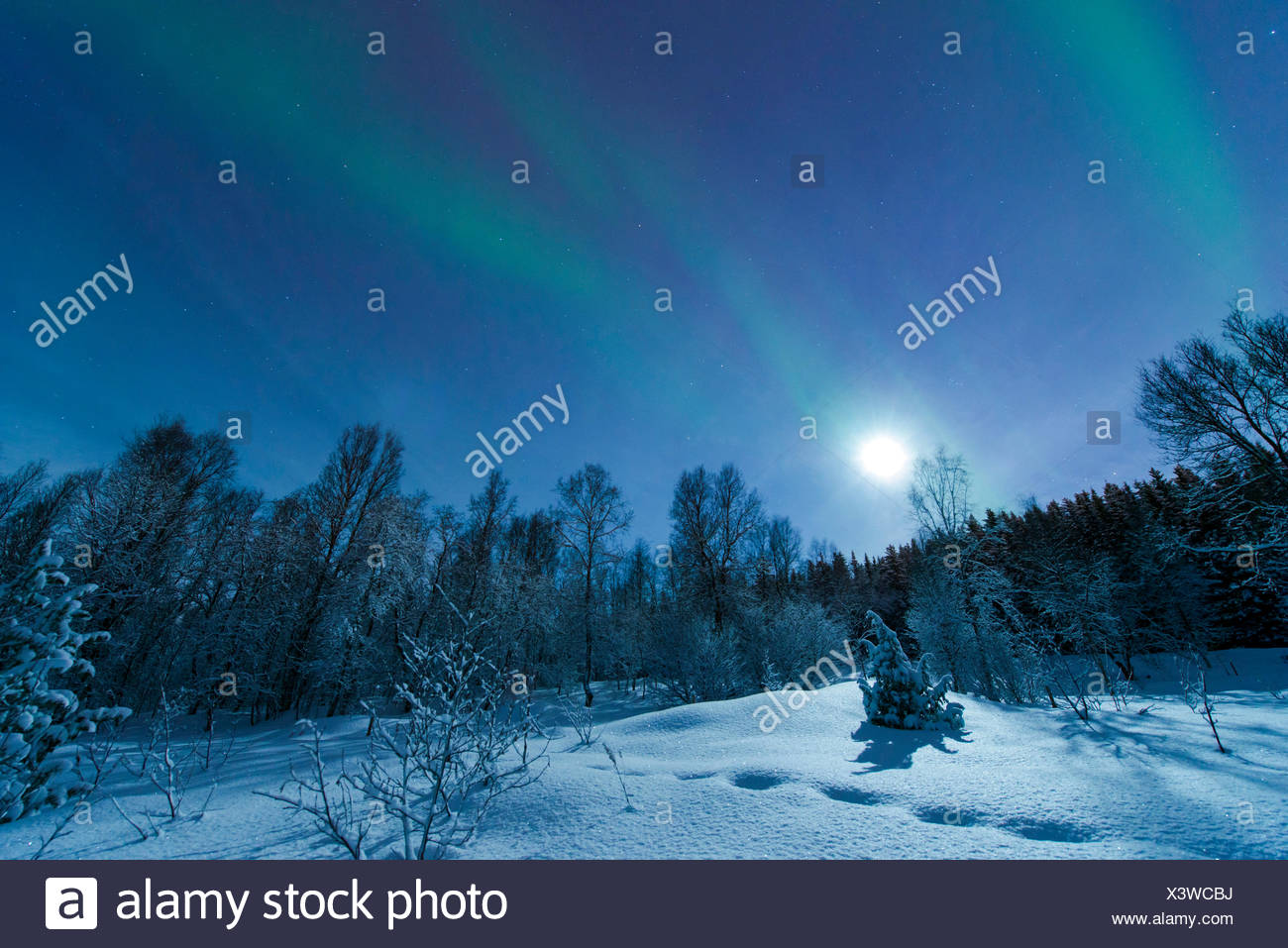 aurora with moon above snowy forest scenery, Norway, Troms, Tromsoe Stock Photo