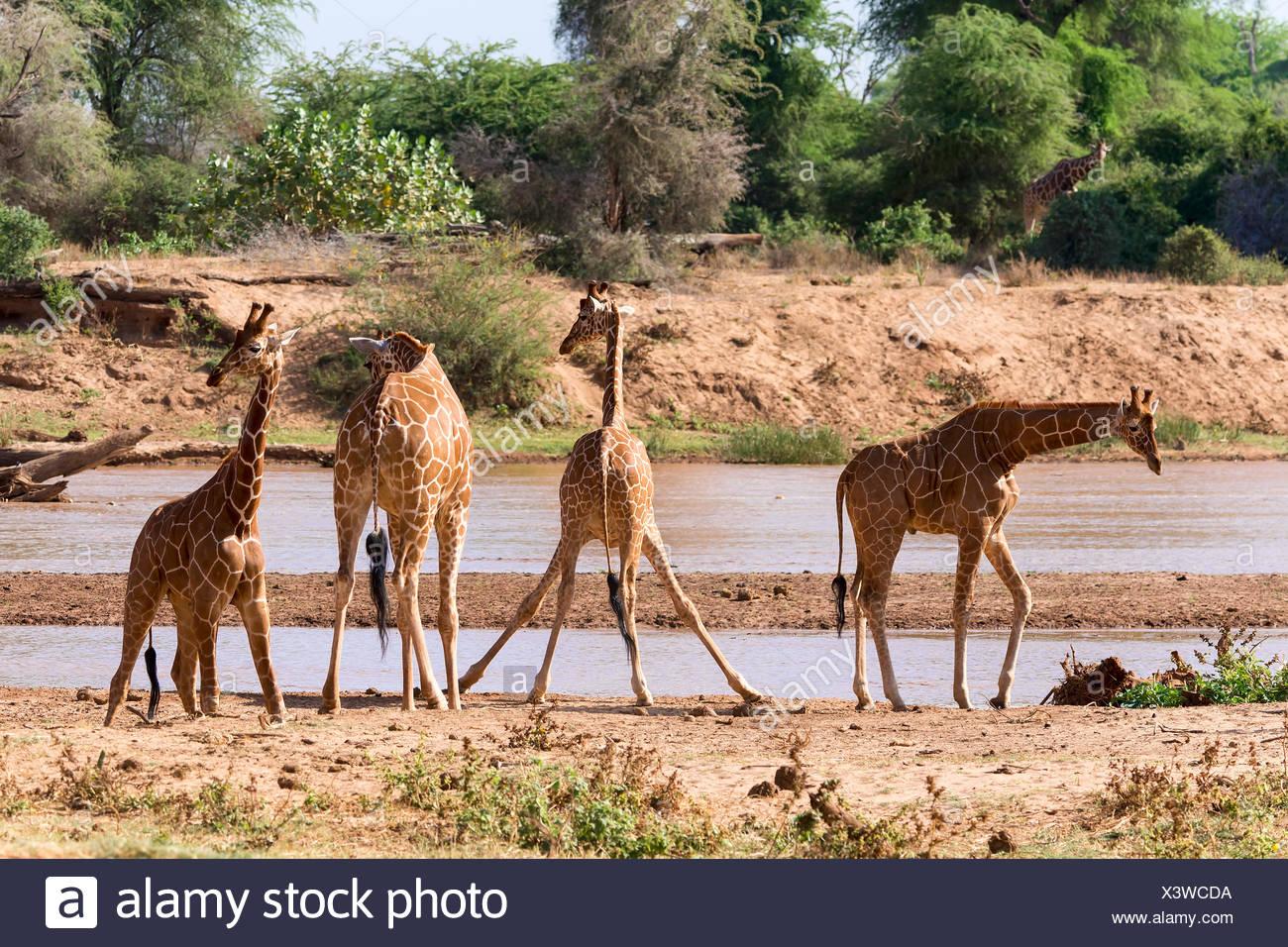 Reticulated giraffes or Somali giraffes (Giraffa reticulata camelopardalis) by river, Samburu National Reserve, Kenya Stock Photo