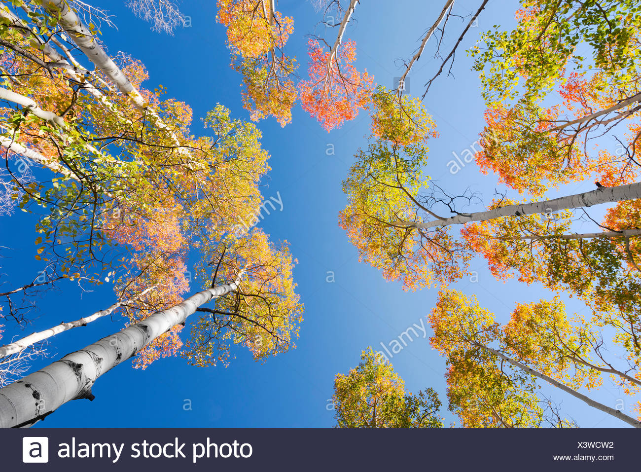 USA, America, birch, aspen, colour, autumn, red, yellow, green, forest, sky, blue, trunk, Utah, landscape, - Stock Image