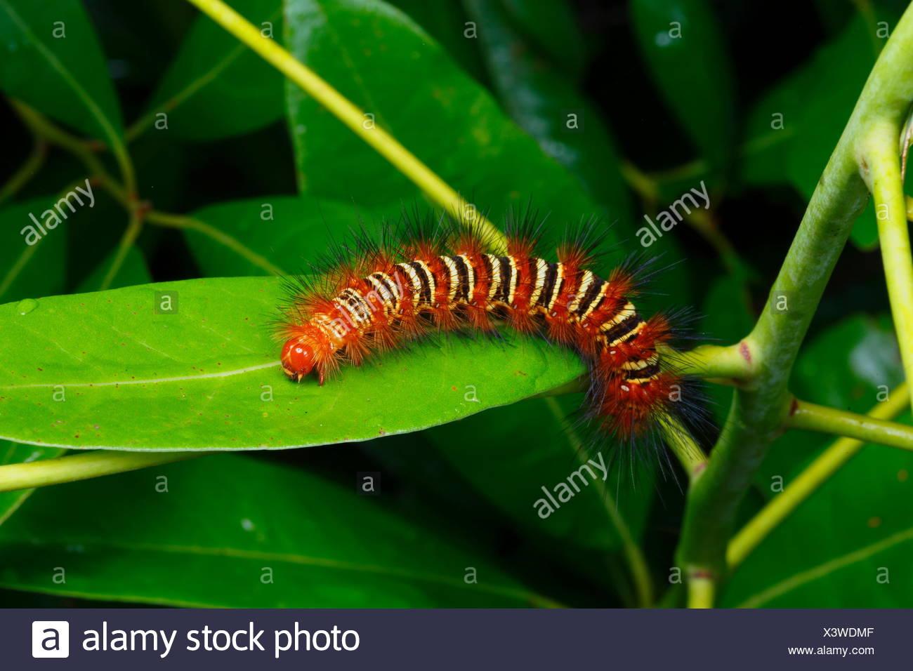 An echo moth caterpillar, Seirarctia echo, crawls on a leaf. - Stock Image