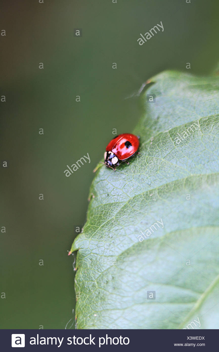 Two-spot Ladybird Beetle, Adalia bipunctata on leaf, Adalia bipyunctata is cannabalistic ladybird with about 80percent of - Stock Image