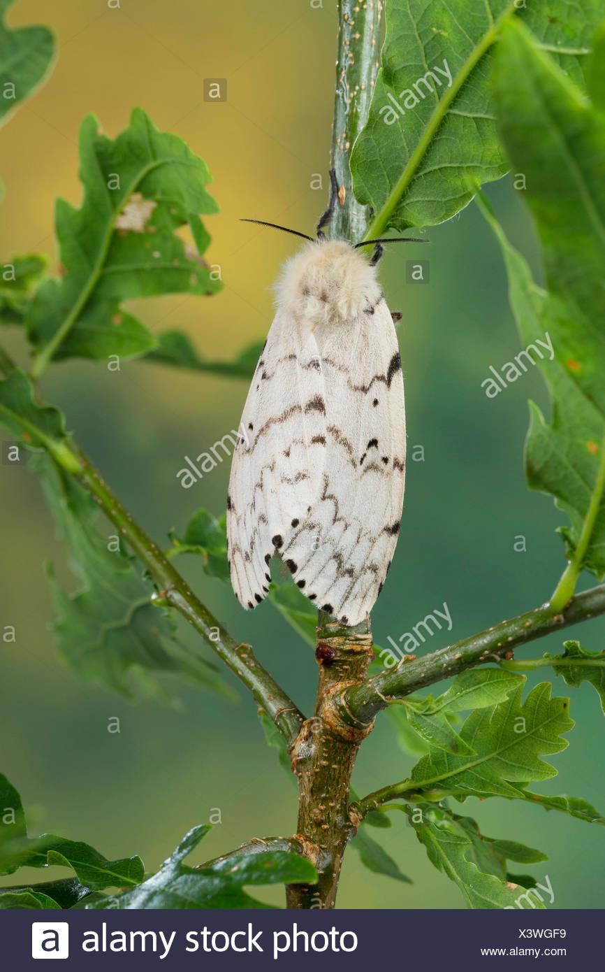 Gipsy moth (Lymantria dispar), female on an oak, Germany - Stock Image