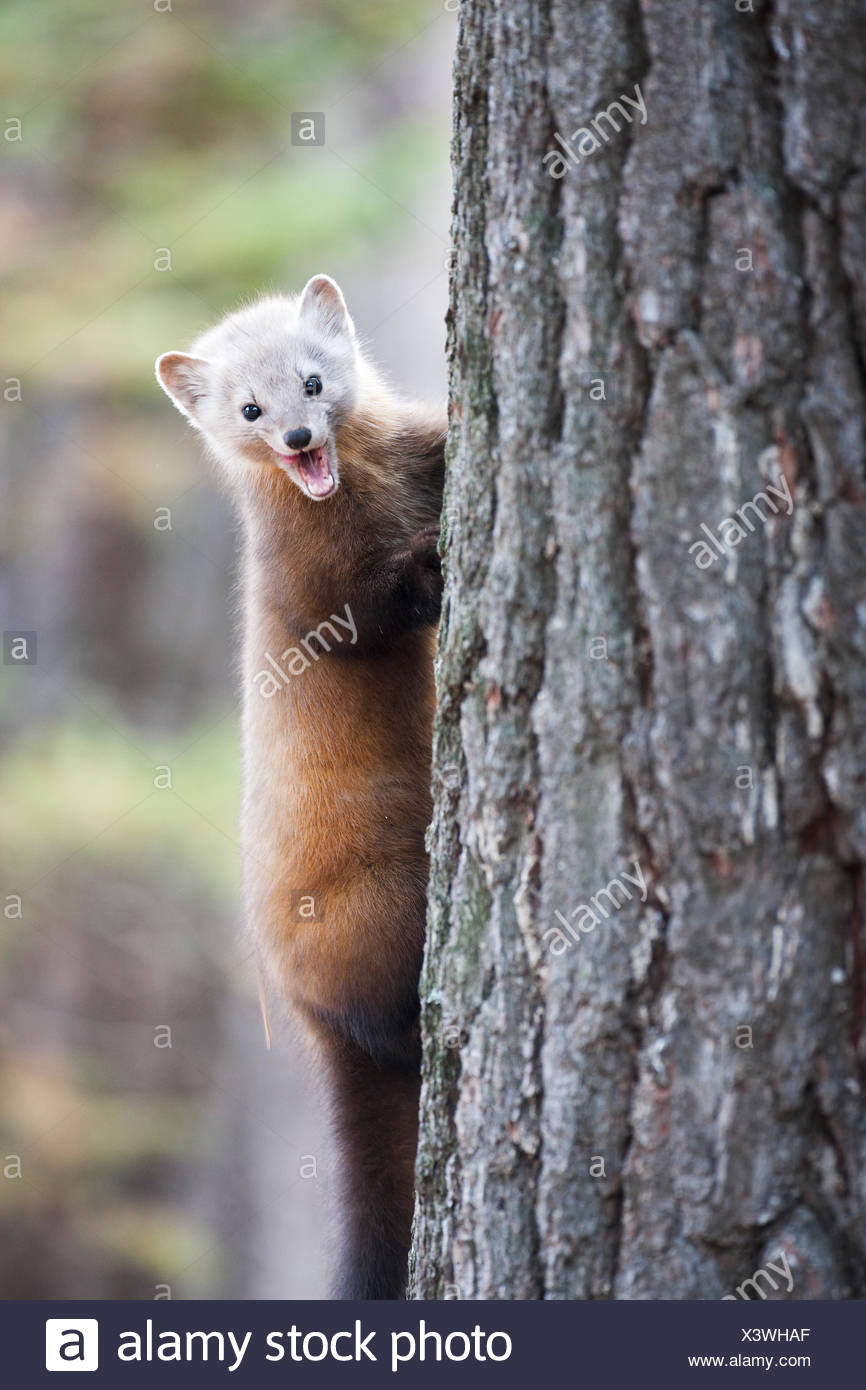 American Marten (Martes americana) makes a fierce facial expression while climbing a tree in Algonquin Provincial Park Ontario - Stock Image