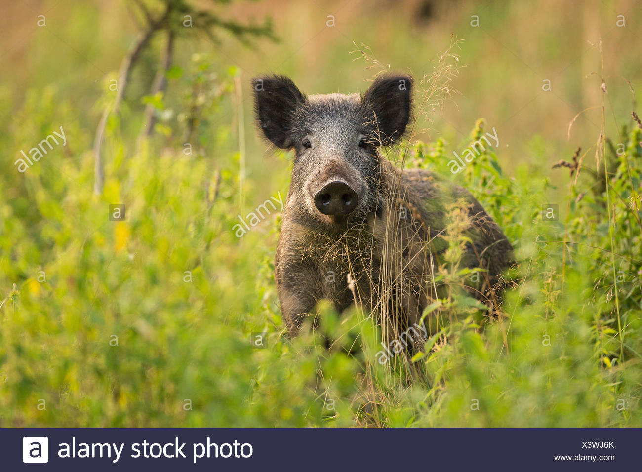 wild boar, pig, wild boar (Sus scrofa), standing on a clearing, Germany - Stock Image