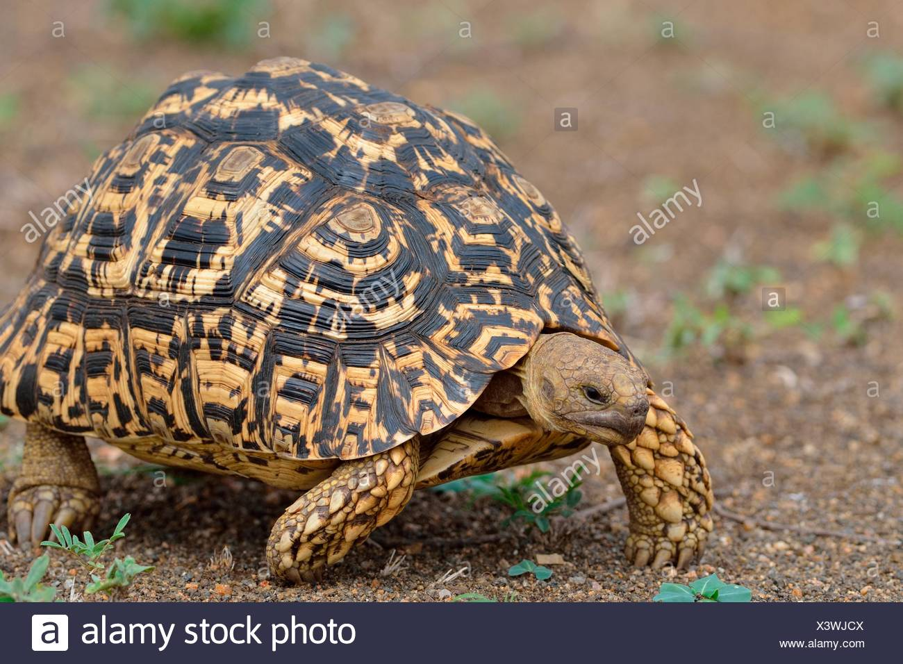 Leopard tortoise (Stigmochelys pardalis), moving, Kruger National Park, South Africa - Stock Image