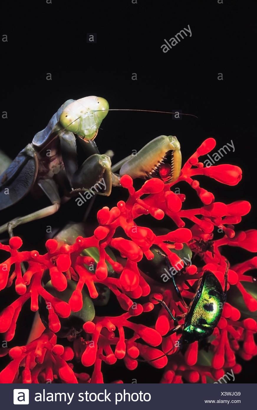 Mantis and Jewel bug. Pune, Maharashtra, India. - Stock Image