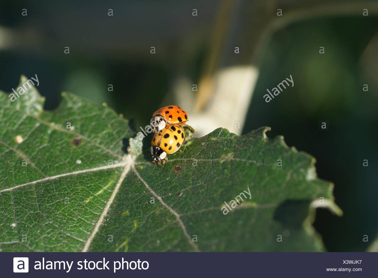 Mating harlequin lady beetles - Stock Image