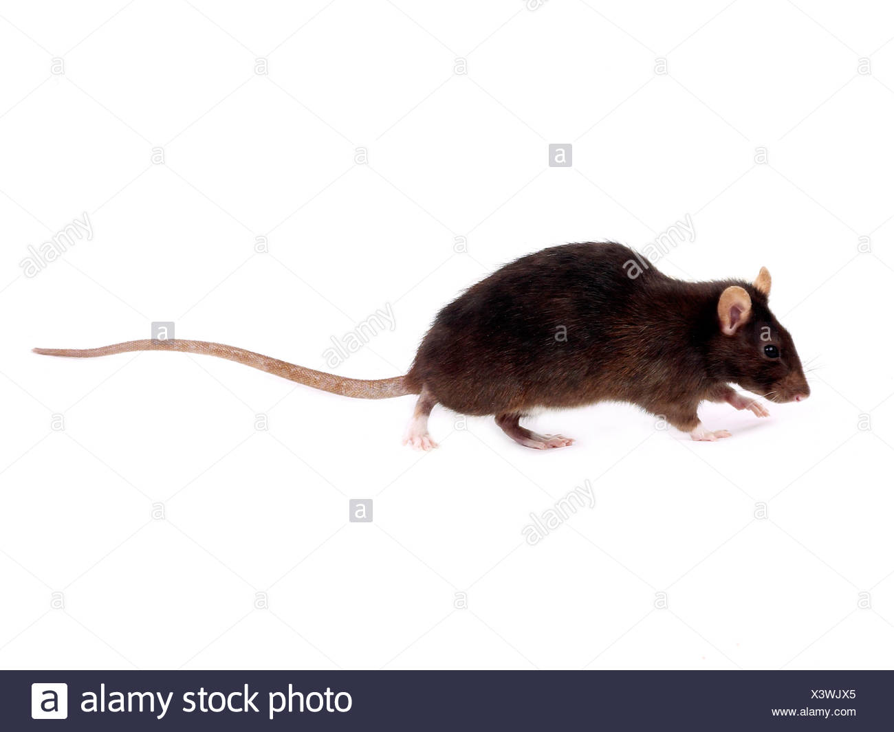 A common brown rat having a sniff - Stock Image