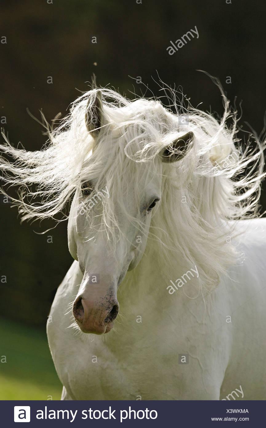 Lusitano horse - portrait - Stock Image