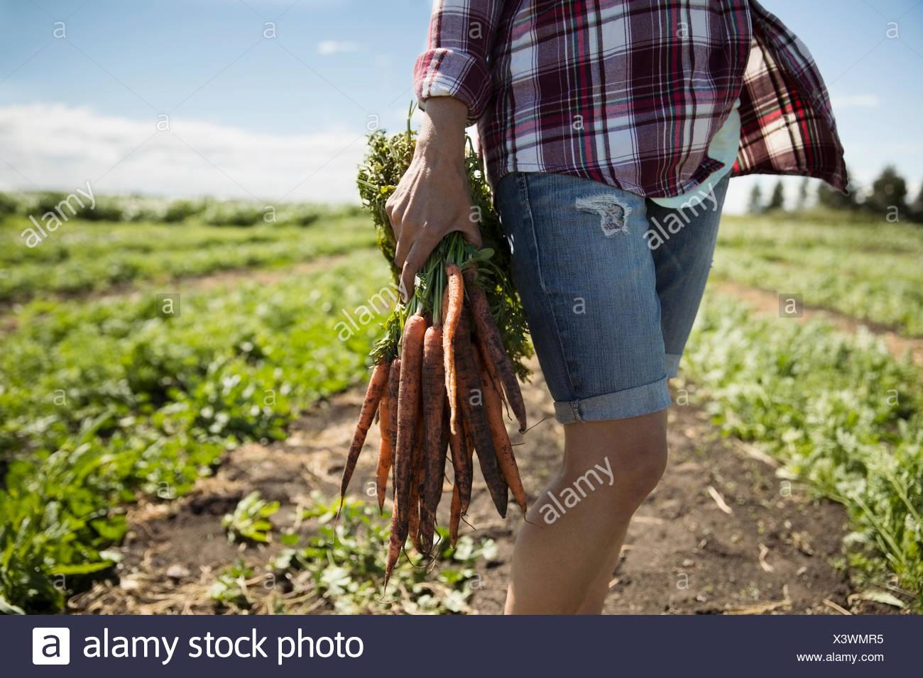 Female farmer harvesting carrots in crop on sunny farm Stock Photo