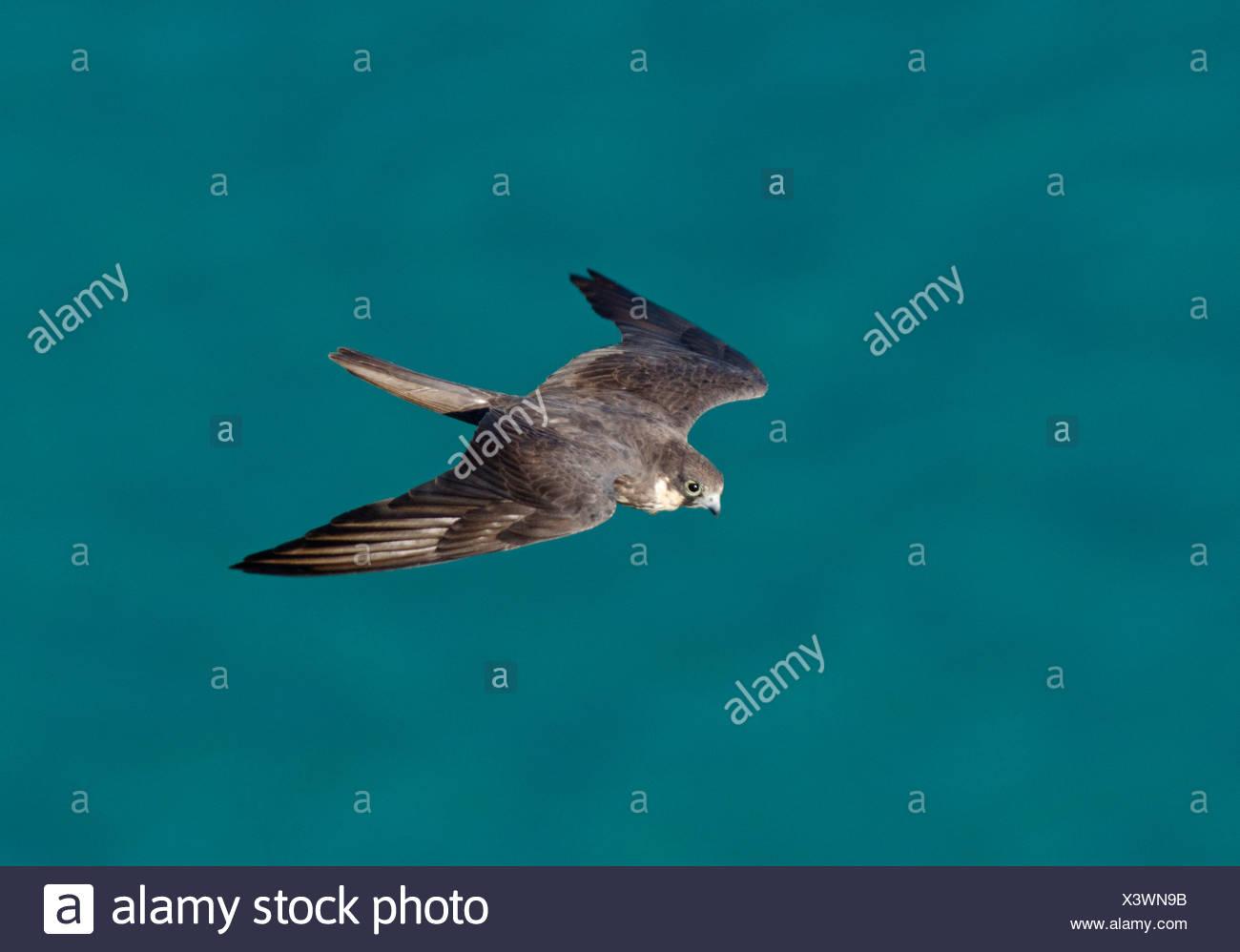 Eleonora's Falcon Falco eleonarae pale morph Cyprus autumn - Stock Image