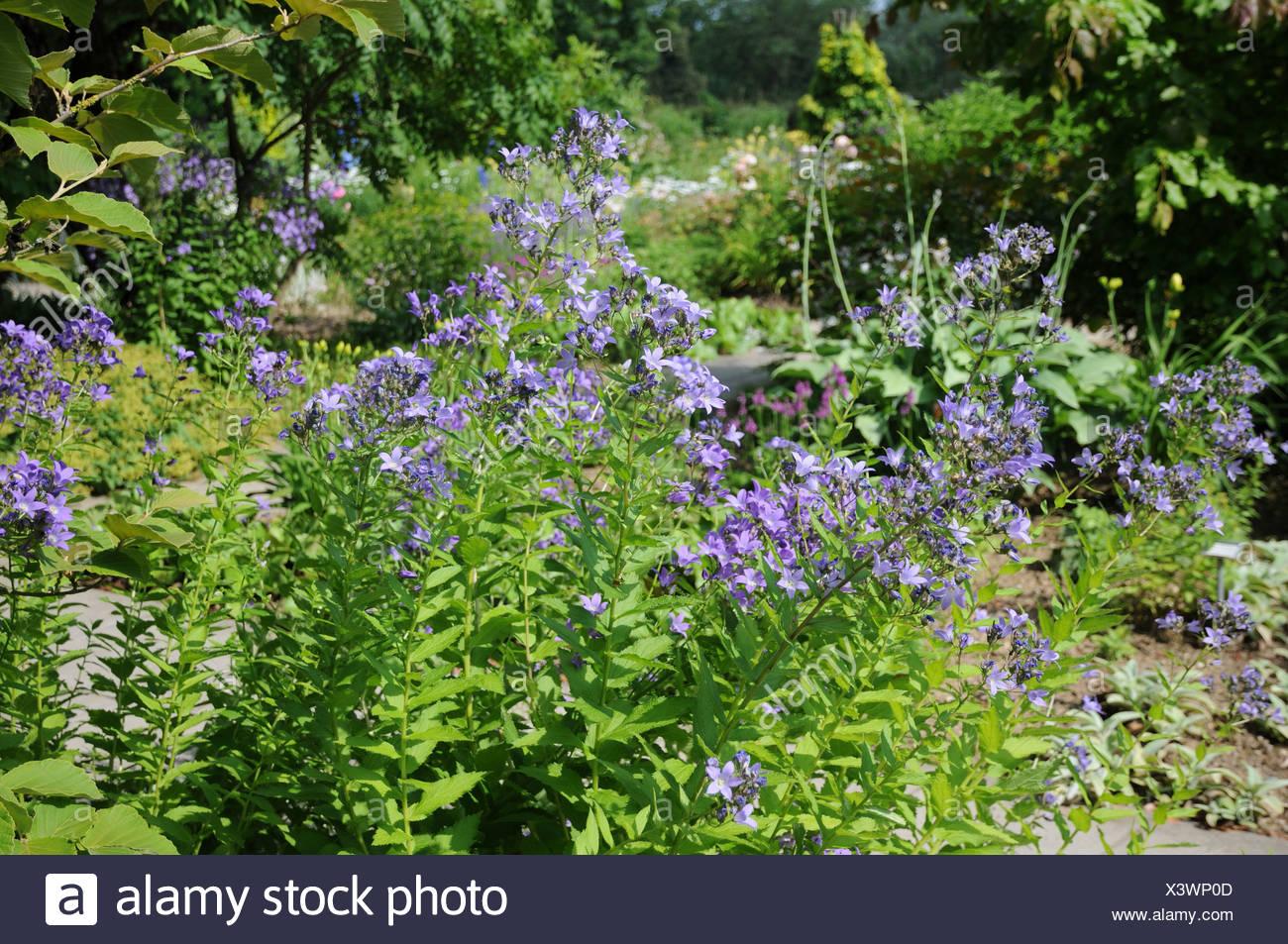 Milky Bellflowers - Stock Image
