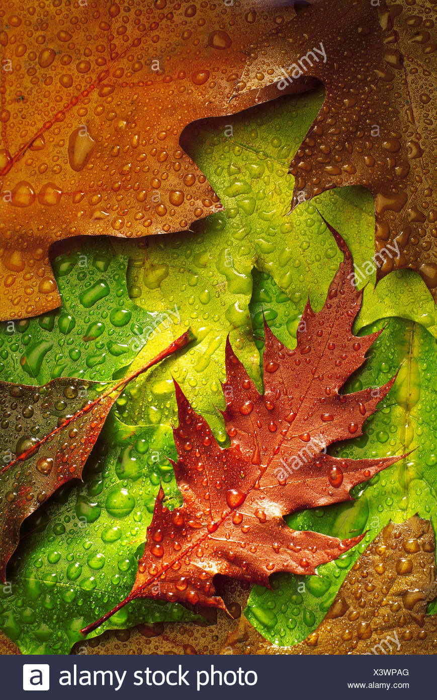 Fall foliage oak-leaves colorful wet color-game detail water-drops ...