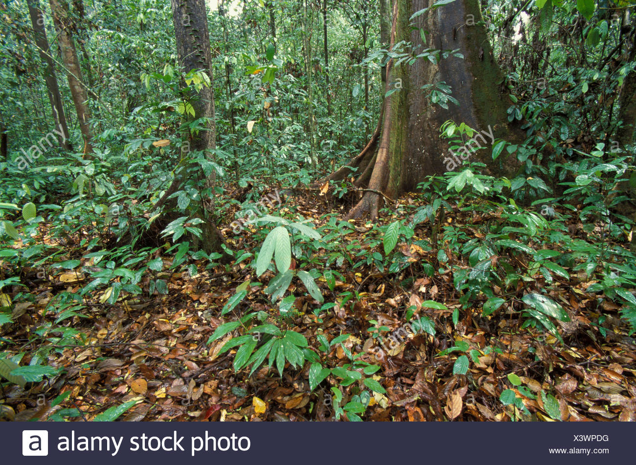 Primary Rainforest, Danum Valley, Sabah, low vegetation, undergrowth and forest floor, wide angle - Stock Image