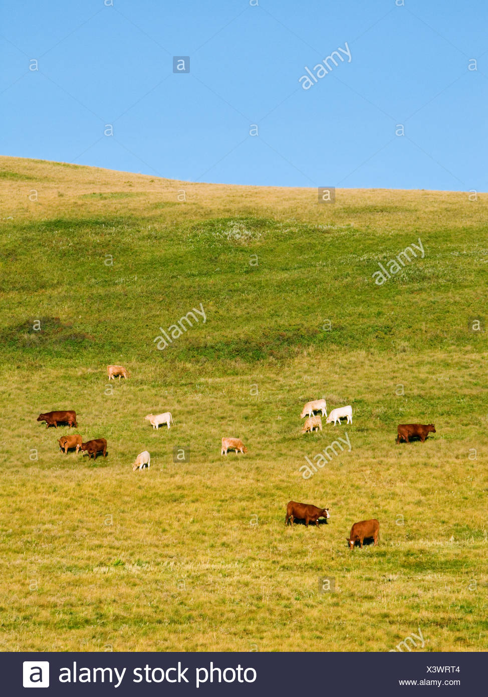 Livestock - Mixed breeds of beef cows and calves feeding on the slopes of a hillside pasture / Alberta, Canada. - Stock Image