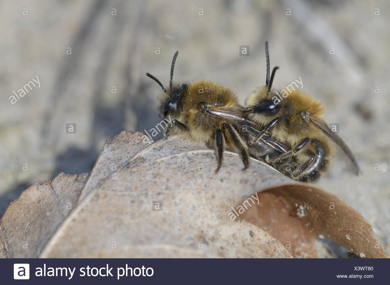 Plasterer Bees (Colletes cunicularius) - Stock Image