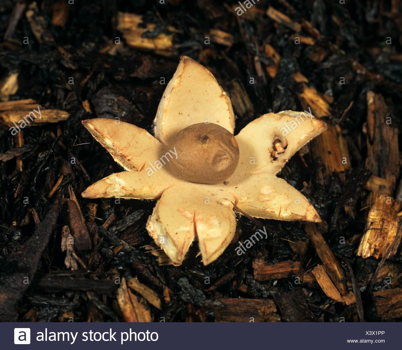 Earth star (Geastrum rufescens) fruit on soil - Stock Image