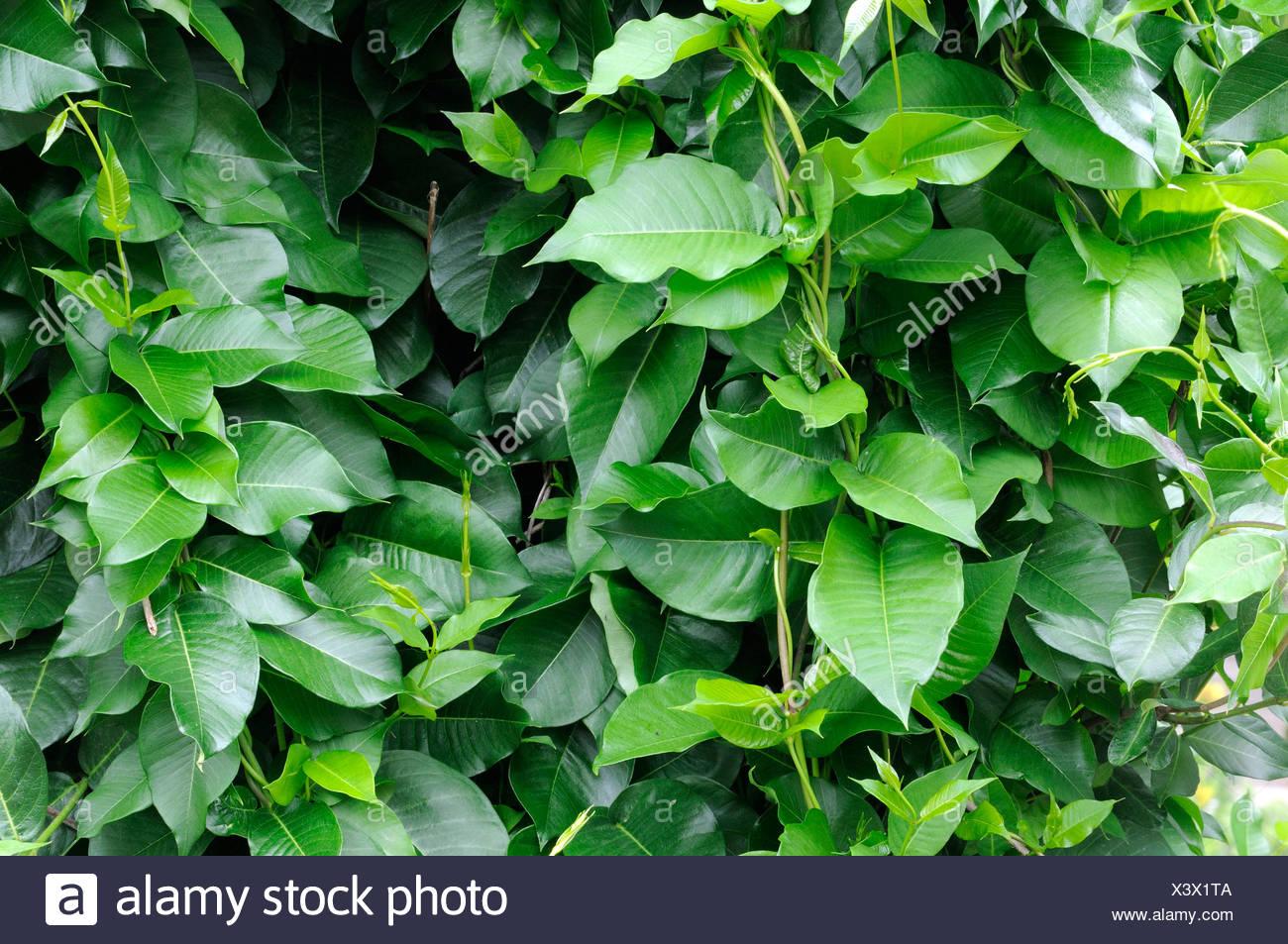 Silk Vine - Stock Image