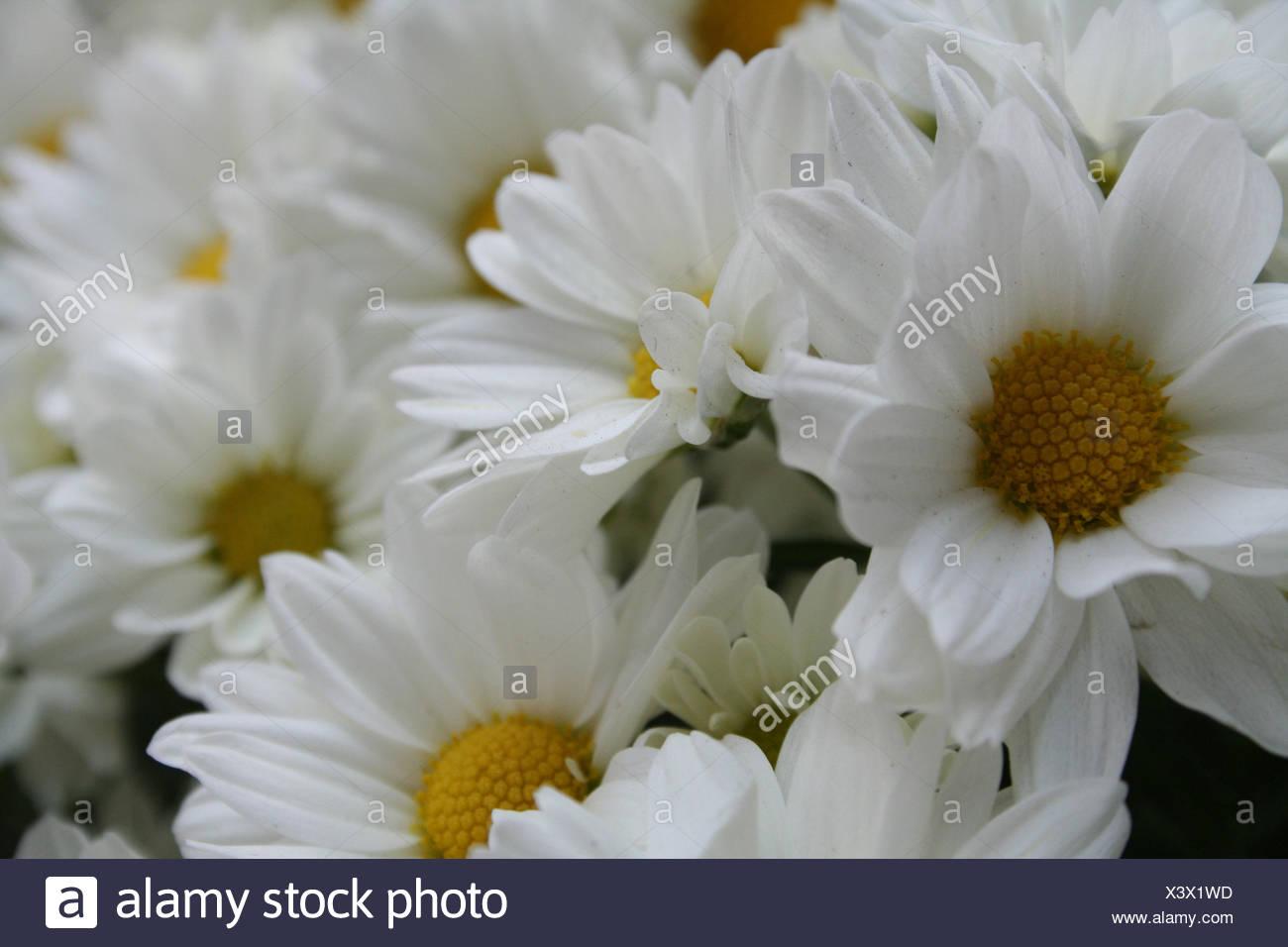 Daisy, Flower, São Paulo, Brazil - Stock Image