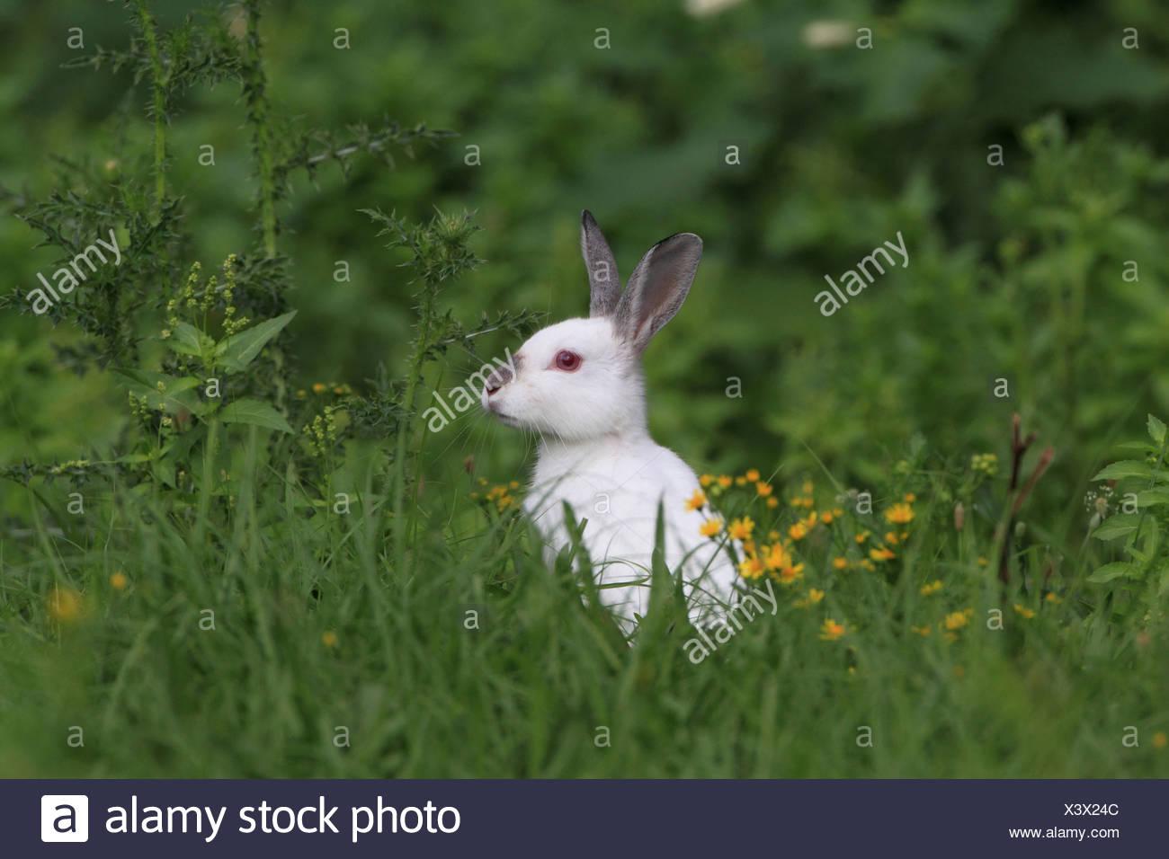 European rabbit (Oryctolagus cuniculus), albino - Stock Image