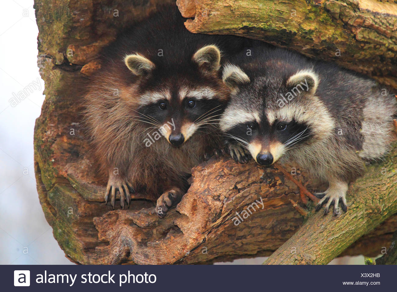 common raccoon (Procyon lotor), two raccoons sit on an old tree, Germany - Stock Image