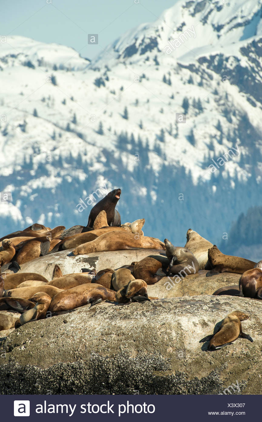 Large group of Stellar sea lions on a rock in Glacier Bay Park. - Stock Image